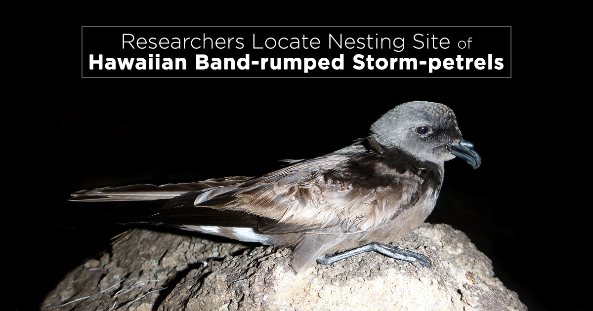 Island Conservation Band-rumped Storm-petrel Nests Found on Mauna