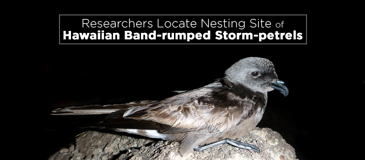 island-conservation-band-rumped-storm-petrel-feat