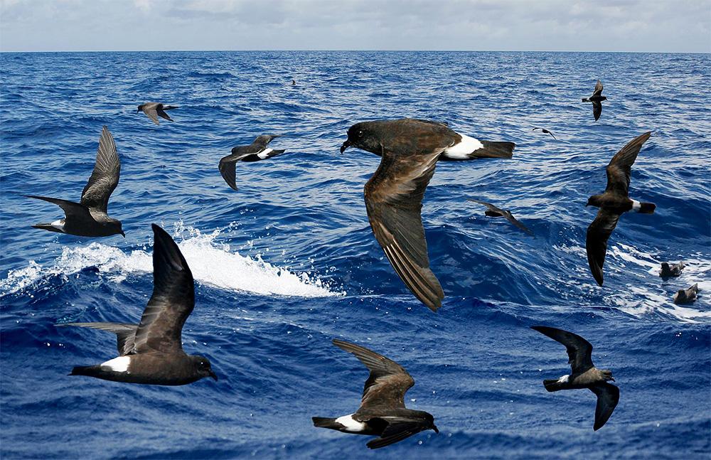 island-conservation-band-rumped-storm-petrels