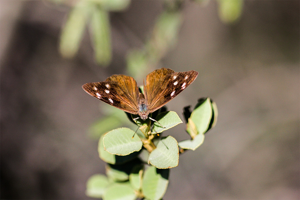 island-conservation-desecheo-butterfly