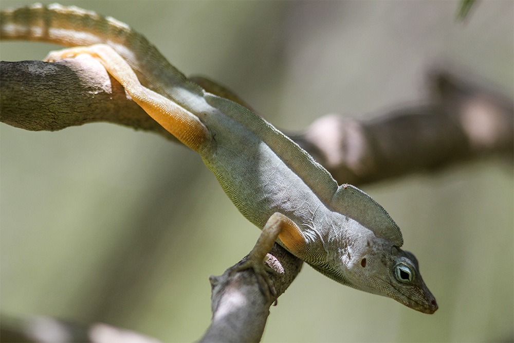 island-conservation-desecheo-island-anole