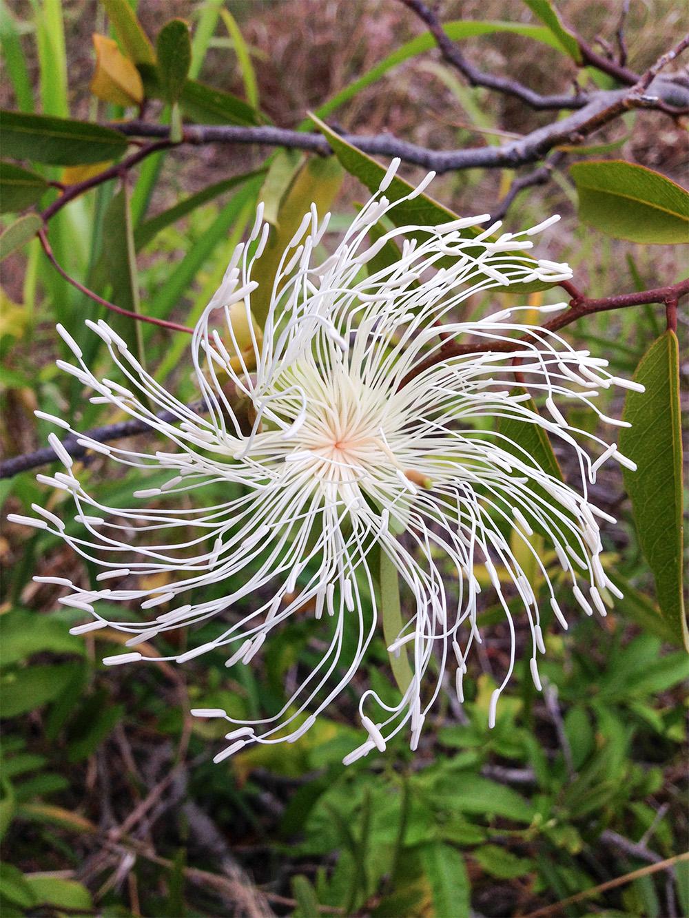 island-conservation-desecheo-island-flower