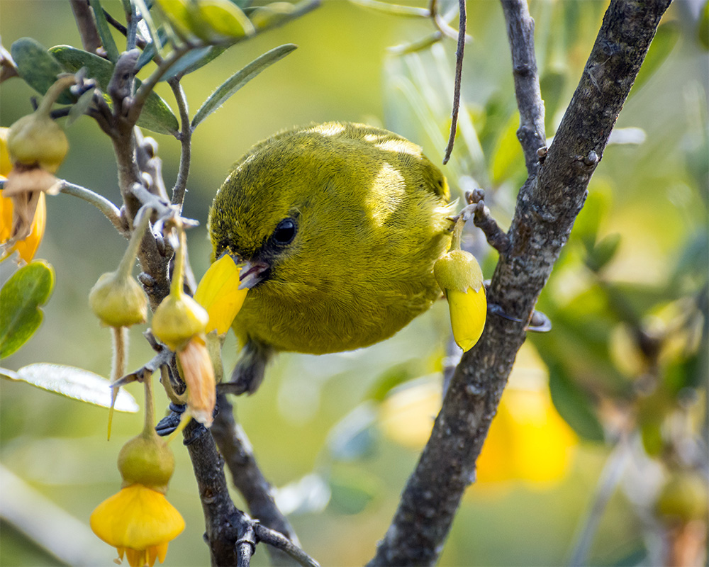 island-conservation-hawaiian-Honeycreepers-malaria