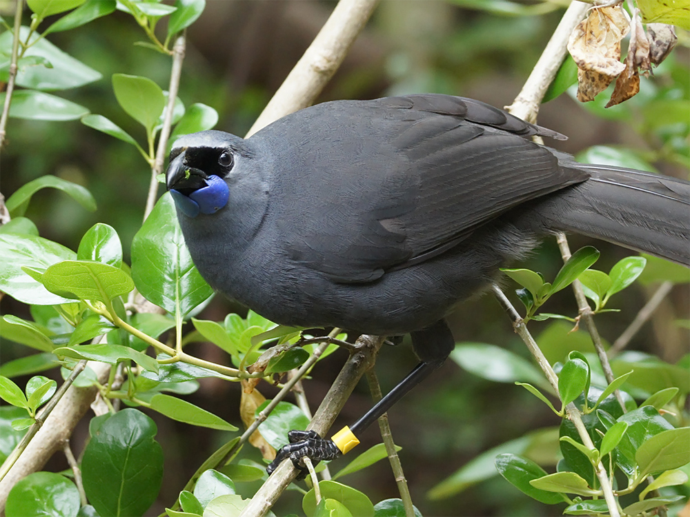island-conservation-invasive-species-rat-new-zealand-tiritiri-matangi-kokako