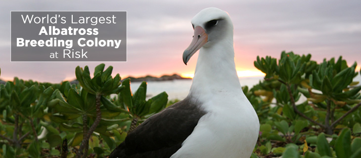 island-conservation-midway-atoll-albatross-feat
