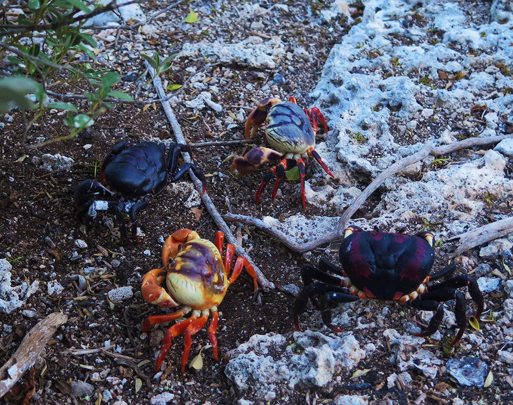 island-conservation-monito-island-land-crabs