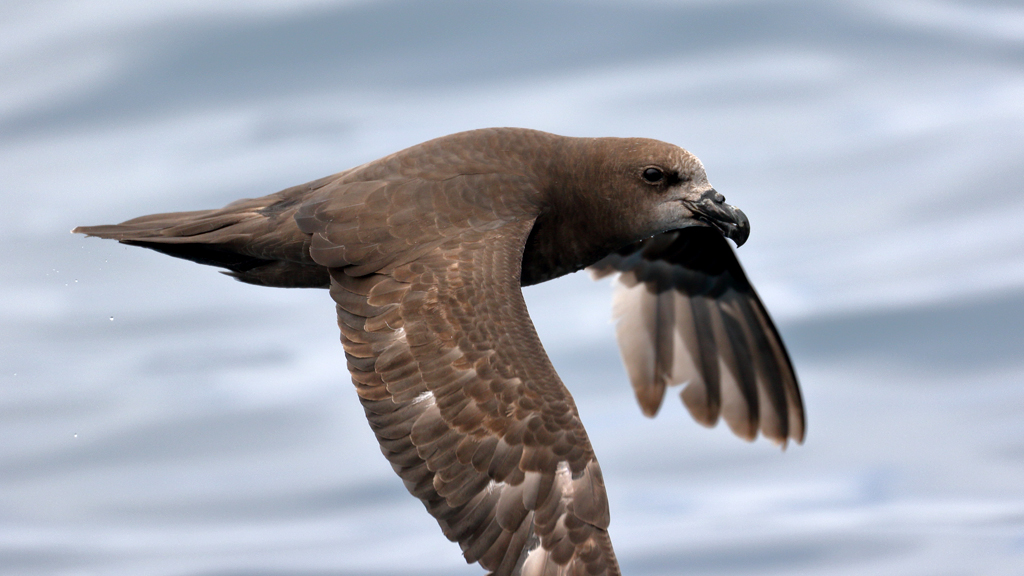 island-conservation-seabird-grey-faced-petrel-new-zealand
