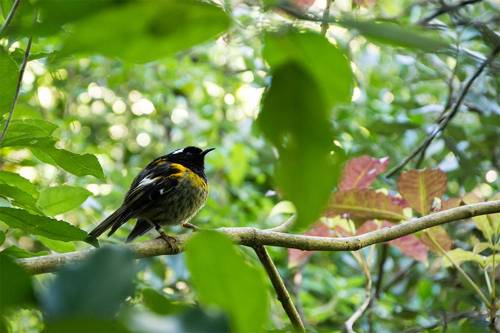 island-conservation-stitchbird