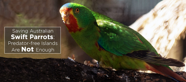 island-conservation-swift-parrot-predator-free-feat