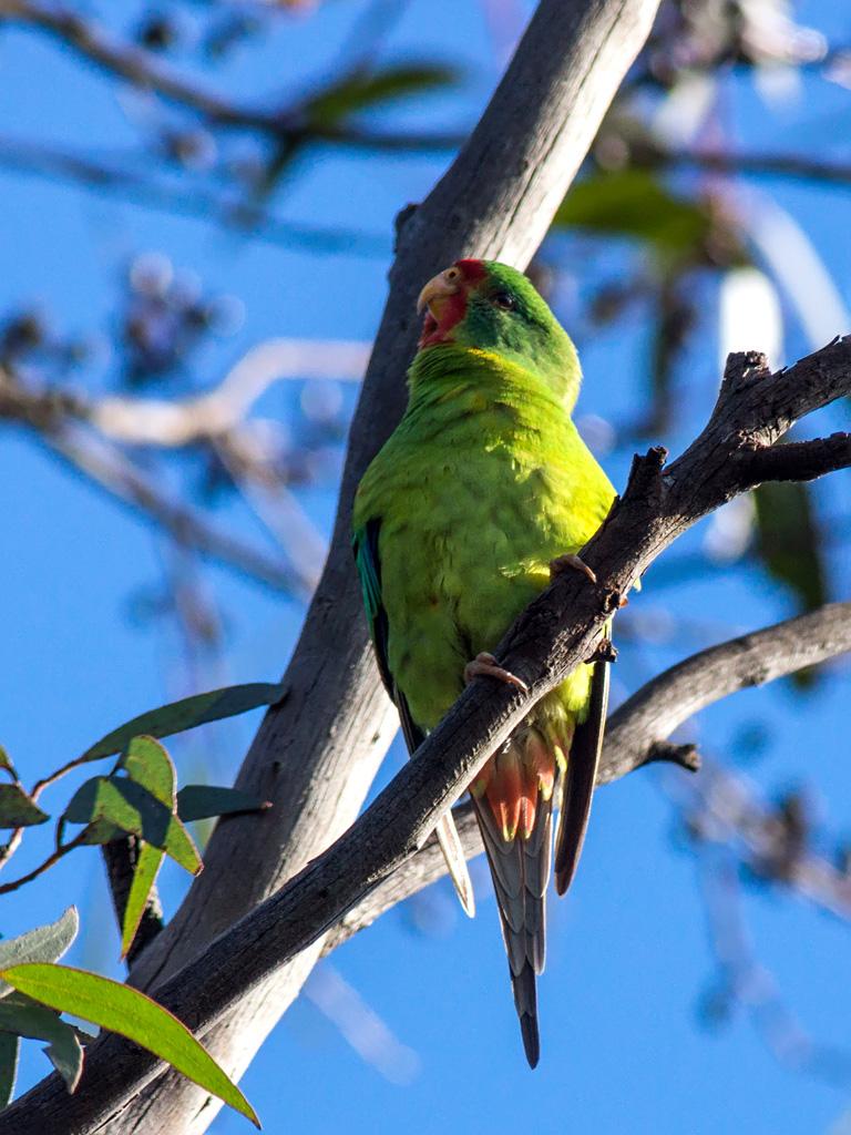 island-conservation-swift-parrot-predator-free-island
