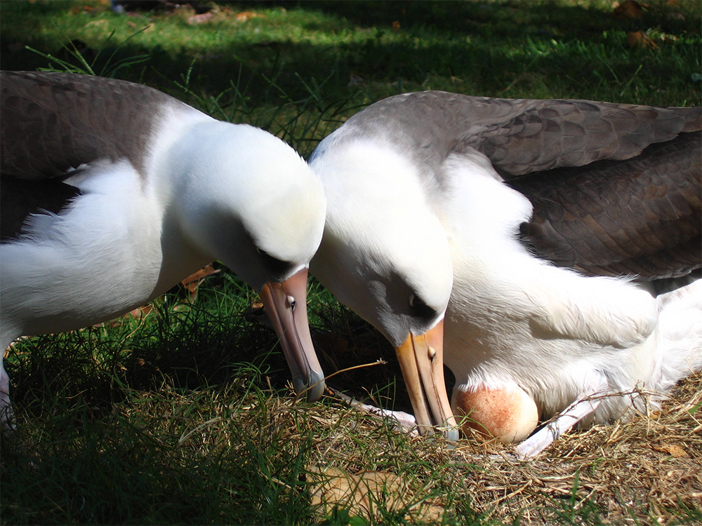 island-conservation-midway-atoll-invasive-species-laysan-albatross