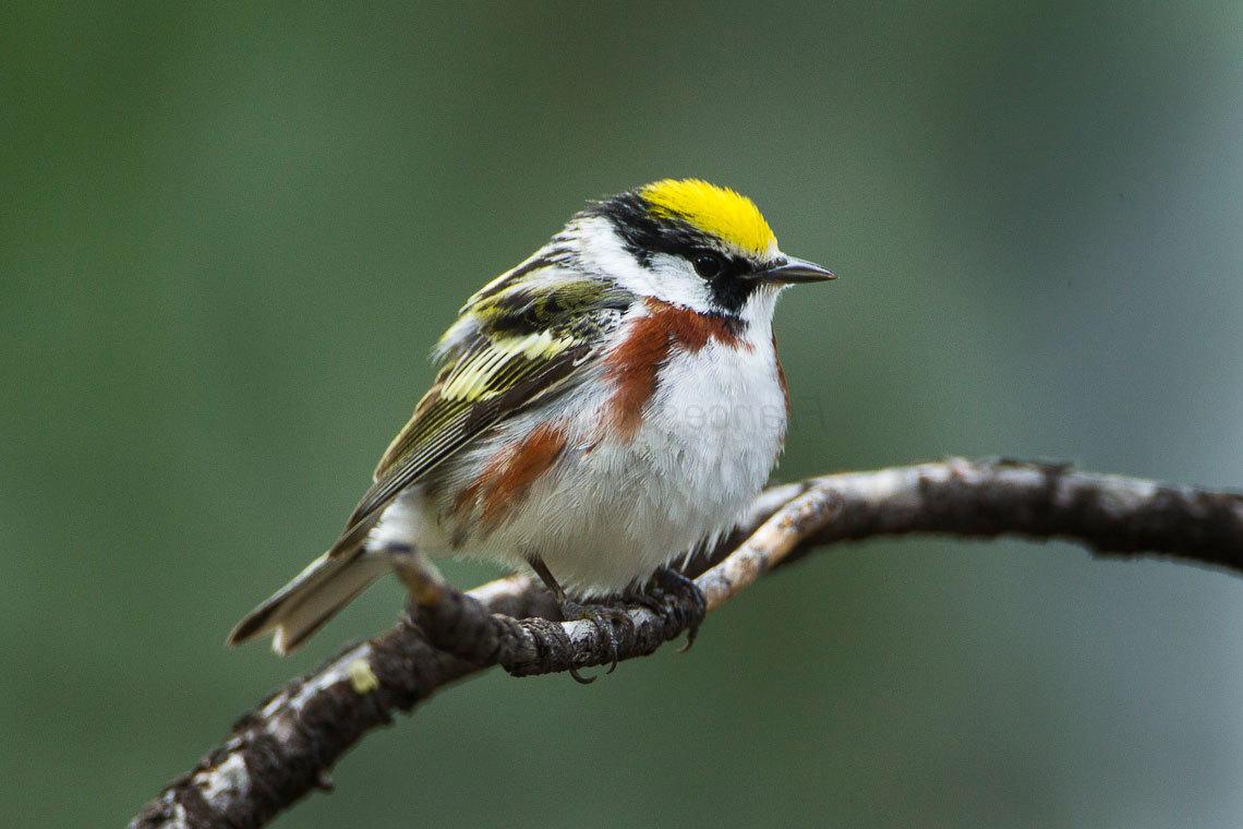 island-conservation-preventing-extinctions-invasive-species-chestnut-sided-warbler