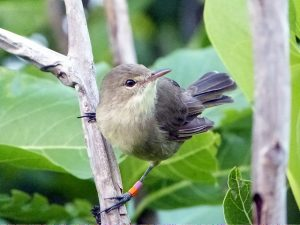 Island-conservation-invasive-species-preventing-extinctions-seychelles-warbler