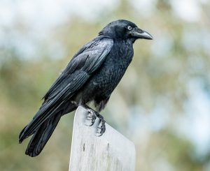 island-conservation-invasive-species-preventing-extinctions-Australian-Crow-perched