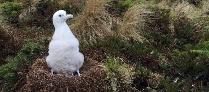 island-conservation-invasive-species-preventing-extinctions-antipodes-island-wandering-albatross-chicks-feat