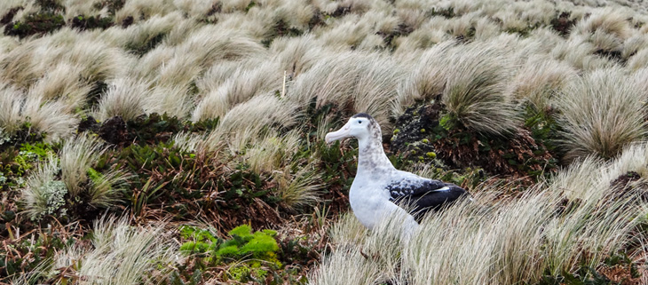 island-conservation-invasive-species-preventing-extinctions-antipodes-update-wandering-albatross-feat