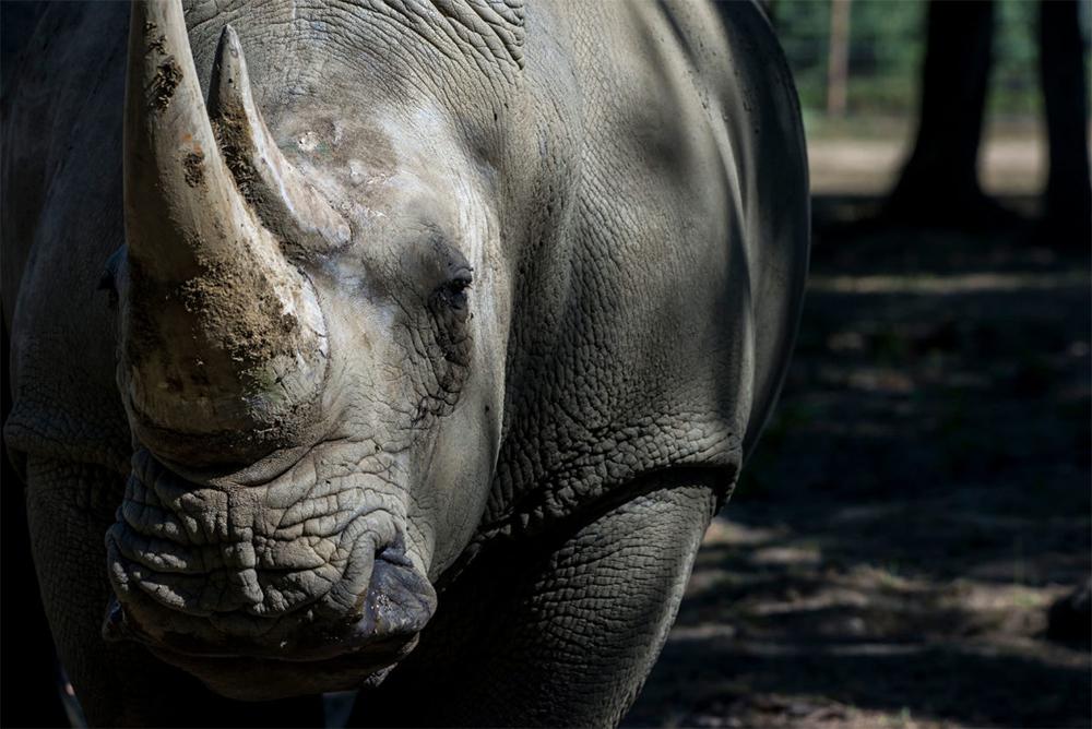 island-conservation-invasive-species-preventing-extinctions-biodiversity-white-rhino