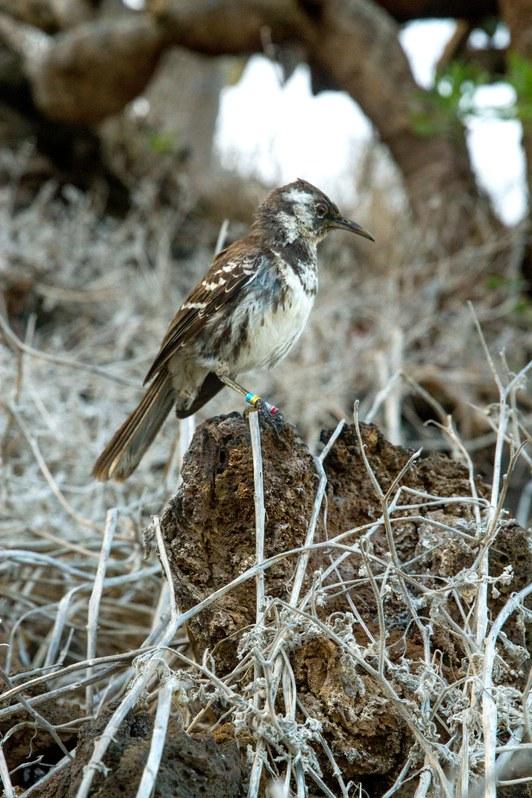 island-conservation-invasive-species-preventing-extinctions-floreana-island-floreana-mockingbird