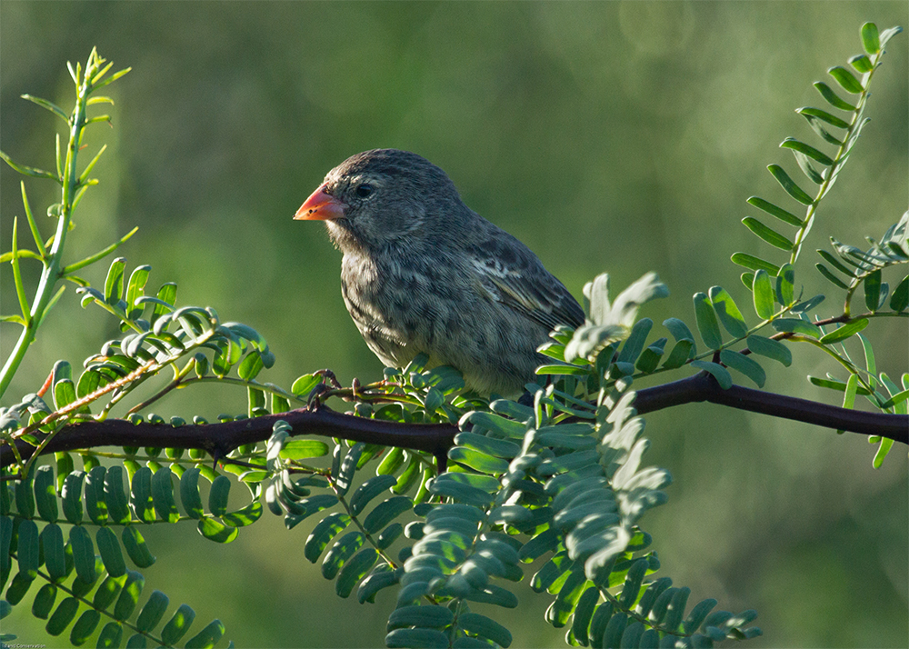 island-conservation-invasive-species-preventing-extinctions-floreana-island-ground-finch