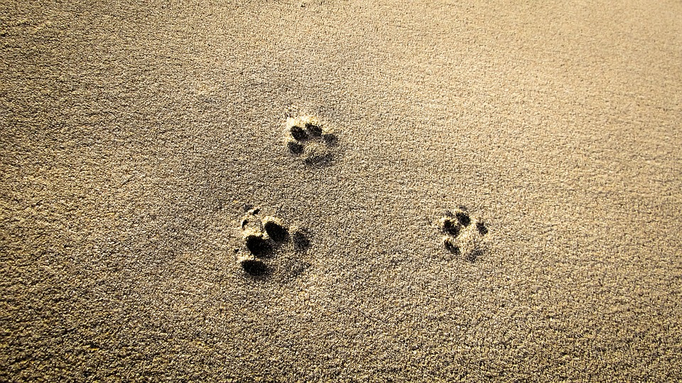 island-conservation-invasive-species-preventing-extinctions-invasive-feral-cat-tracks