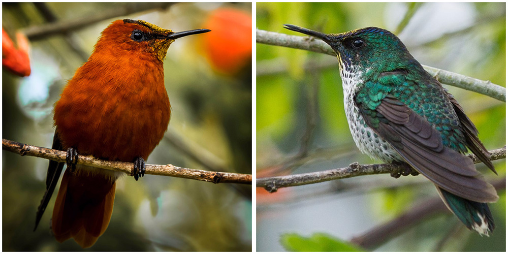 island-conservation-invasive-species-preventing-extinctions-juan-fernandez-firecrown