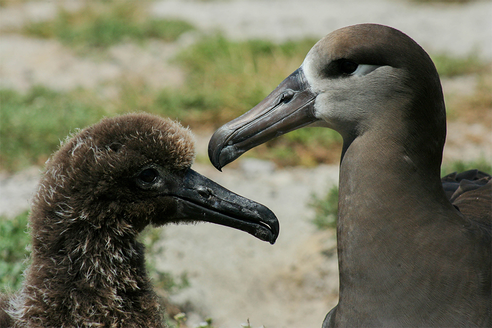 island-conservation-invasive-species-preventing-extinctions-midway-atoll-albatross
