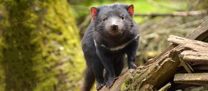 island-conservation-invasive-species-preventing-extinctions-tasmanian-devil-feat