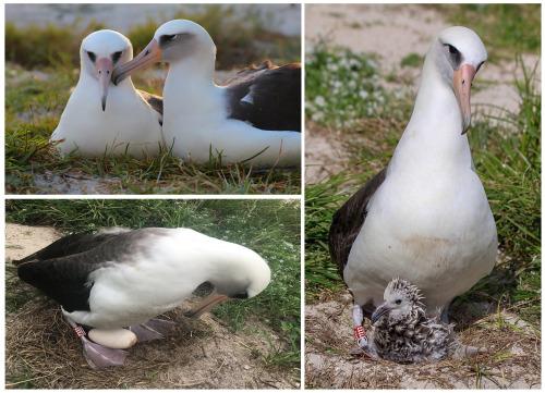 island-conservation-preventing-extinctions-invasive-species-Wisdom-baby
