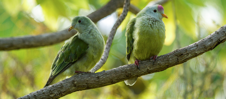 island-conservation-preventing-extinctions-invasive-species-fruit-dove-birds-feat