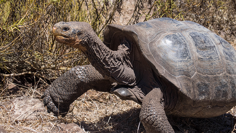island-conservation-preventing-extinctions-invasive-species-pinzon-island-galapagos-giant-tortoise