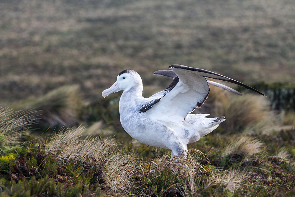 island-conservation-preventing-extinctions-invasive-species-wandering-albatross-antipodes-island