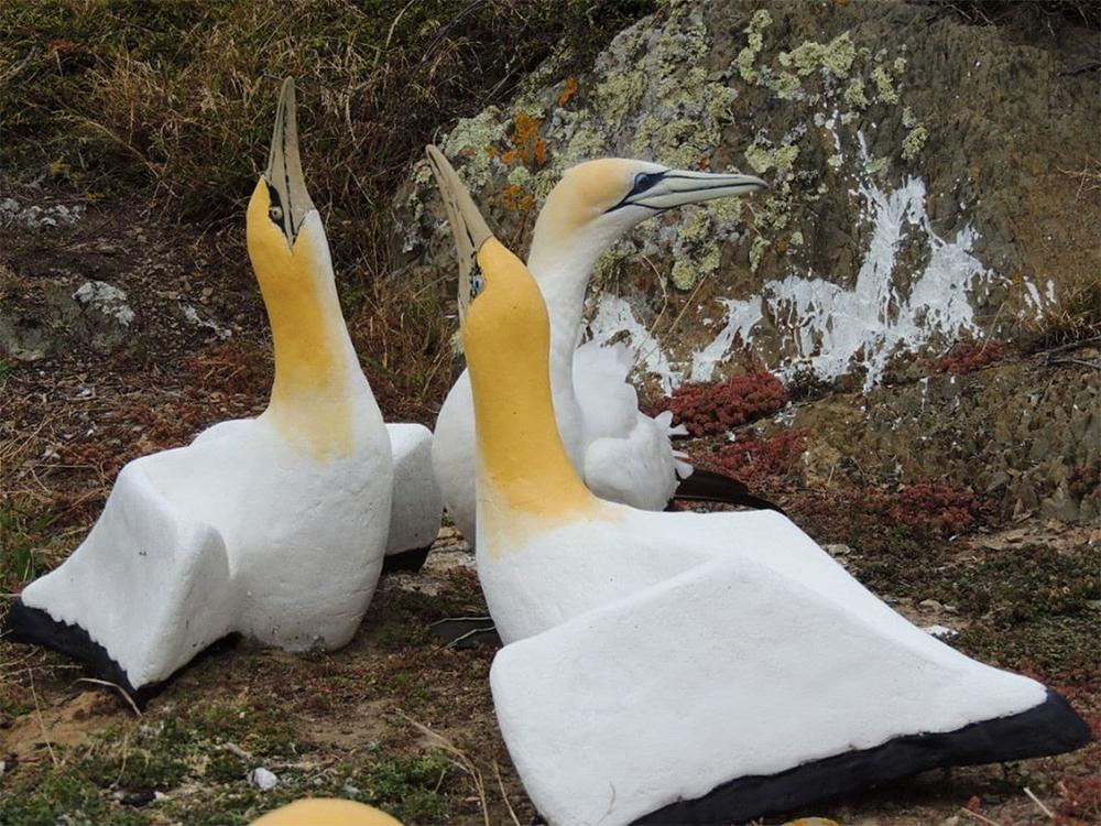 island-conservation-preventing-extinctions-invasive-species-nigel-gannet-mana-island