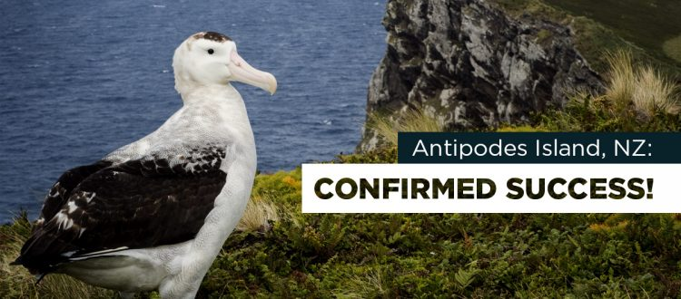 island conservation antipodes new zealand albatross