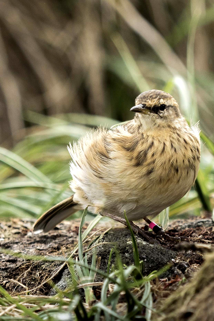 island conservation antipodes island Pipit new zealand