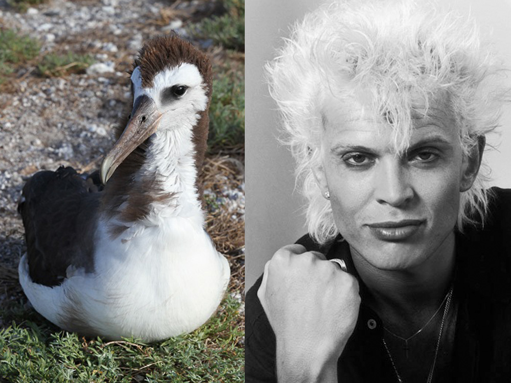 island-conservation-invasive-species-laysan-albatross-billy-idol