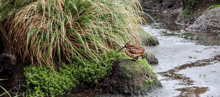 island-conservation-invasive-species-preventing-extinctions-antipodean-snipe-feat