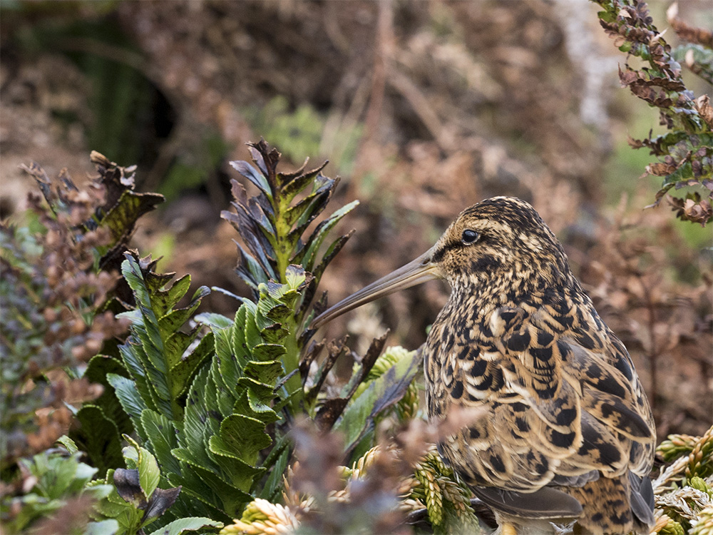 island-conservation-invasive-species-preventing-extinctions-antipodean-snipe
