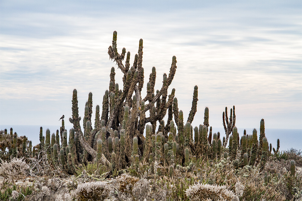 island-conservation-invasive-species-preventing-extinctions-chile-cactus