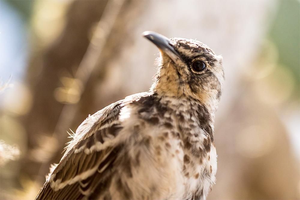 island-conservation-invasive-species-preventing-extinctions-floreana-mockingbird