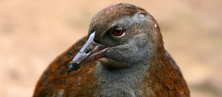 island-conservation-invasive-species-preventing-extinctions-north-island-weka-feat