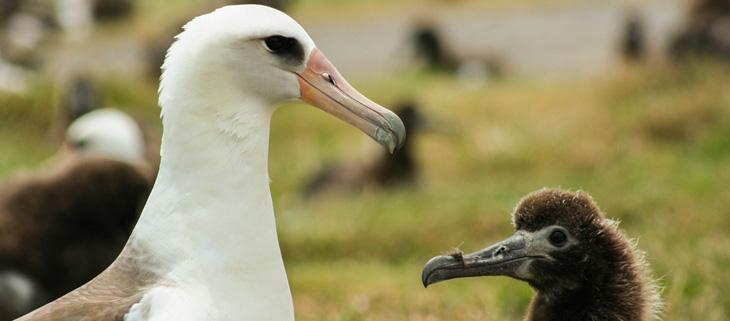 island-conservation-invasvie-species-preventing-extinctions-laysan-albatross-chick-adult-feat