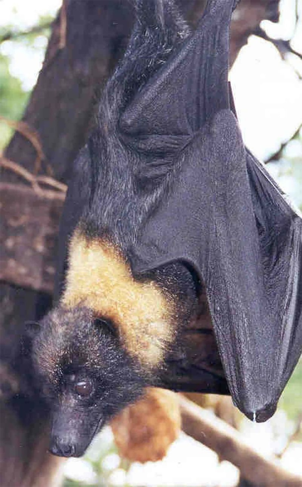 island-conservation-preventing-extinctions-invasive-species-Marianas-flying-fox