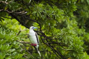 island-conservation-preventing-extinctions-invasive-species-Palmyra-Red-Footed-Booby