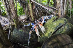 island-conservation-preventing-extinctions-invasive-species-Palmyra-coconut-crab