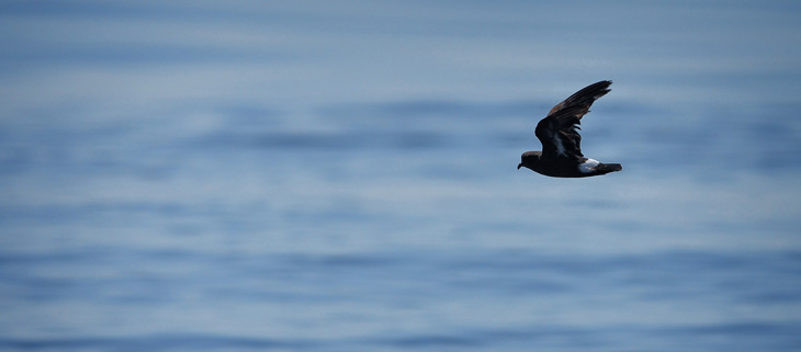 island-conservation-preventing-extinctions-invasive-species-Shiant-Islands-Storm-Petrel-Feat