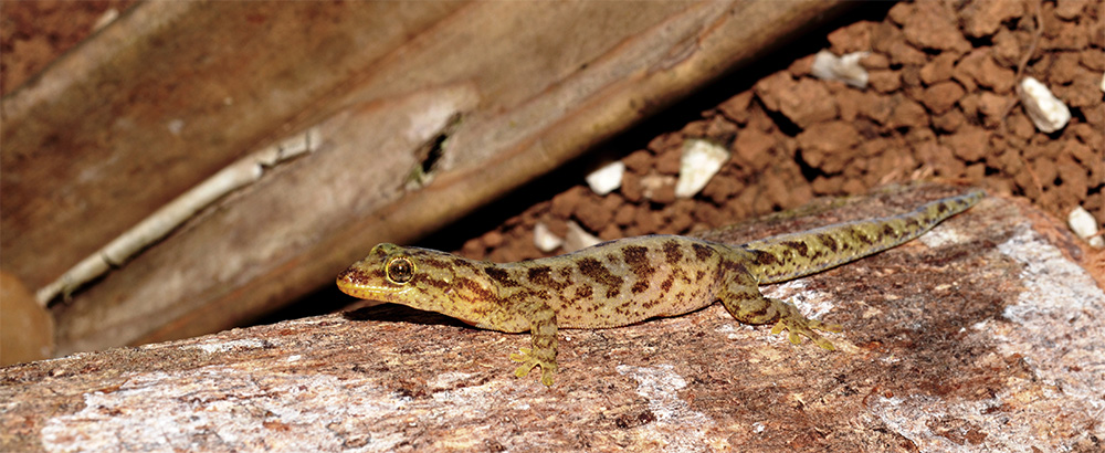 island-conservation-preventing-extinctions-invasive-species-listers-gecko