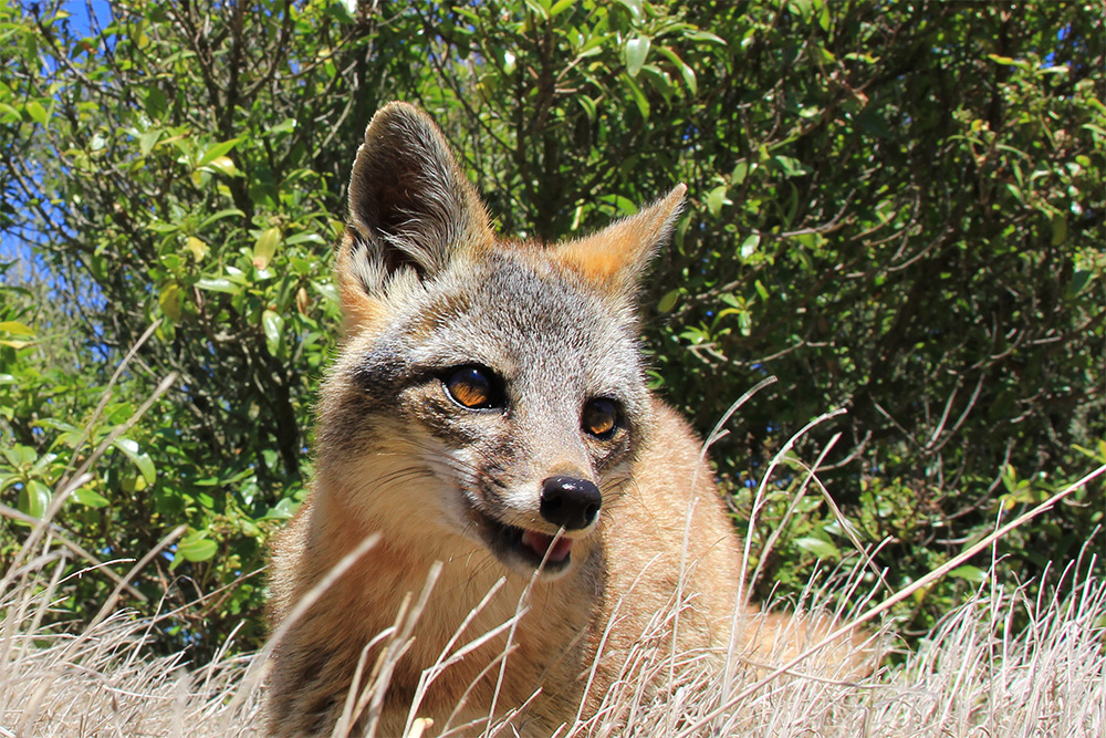 island-conservation-invasive-species-preventing-extinctions-channel-island-fox-national-wildlife-federation