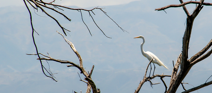 island-conservation-invasive-species-preventing-extinctions-holistic-conservation-science-great-egret