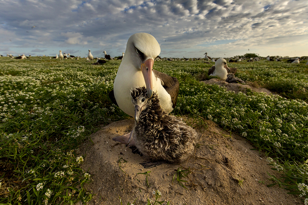 island-conservation-invasive-species-preventing-extinctions-laysan-albatross-midway