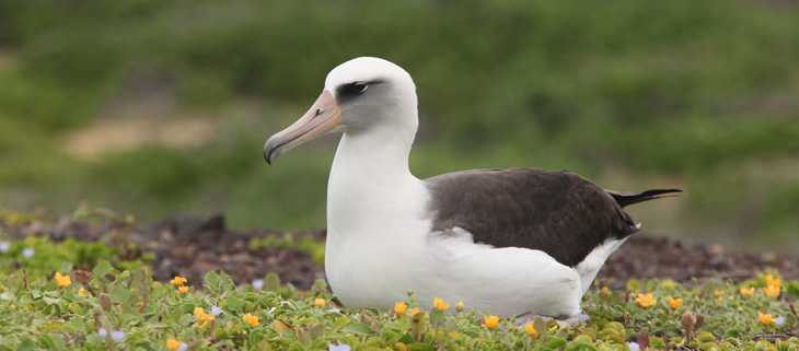 island-conservation-invasive-species-preventing-extinctions-laysan-albatross-national-wildlife-federation-feat